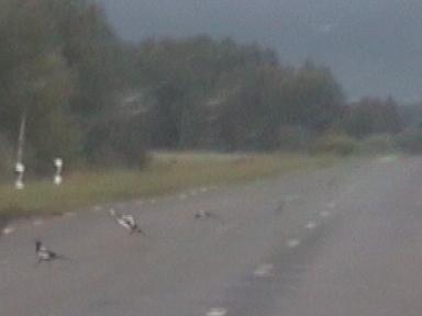 Вороны на пустой разбитой дороге...
